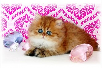 Kitten Persian , 8 Wonderful Toy Persian Cats In Cat Category