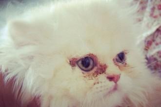 Persian cat eye disorders
