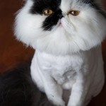 kittens for sale , 7 Cool Persian Cat Haircuts In Cat Category