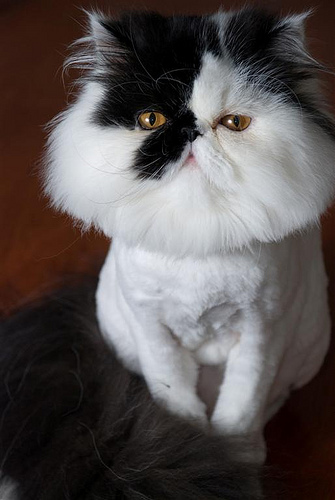 Cat , 7 Cool Persian Cat Haircuts : Kittens For Sale