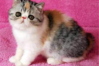 Kittens For Sale , 8 Fabulous Shorthair Persian Cat In Cat Category