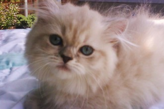 Kittens That Are Healthy , 6 Cute Doll Face Persian Cat In Cat Category