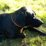 labrador retriever , 4 Cool Weinheimer Puppies For Sale In Dog Category