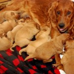 litter of puppies , 7 Cute Do Puppies Have Umbilical Cords In Dog Category