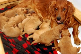 litter of puppies in Organ