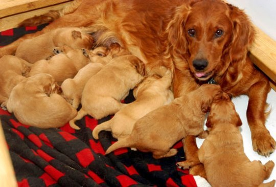 Dog , 7 Cute Do Puppies Have Umbilical Cords : Litter Of Puppies