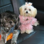 maltese puppies for sale , 7 Cool Maltese Puppies For Sale In Augusta Ga In Dog Category