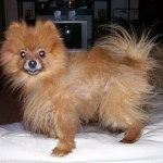 maltese puppies , 6 Cool Pomeranian Puppy Uglies In Dog Category