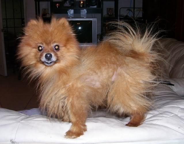 Maltese Puppies : 6 Cool Pomeranian Puppy Uglies ...