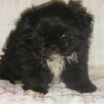 miniature schnauzer , 7 Cute Peekapoo Puppies For Sale In Pa In Dog Category