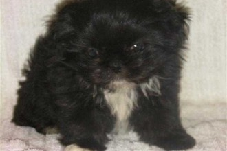 Miniature Schnauzer , 7 Cute Peekapoo Puppies For Sale In Pa In Dog Category