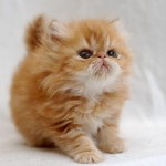 names for girl cats , 8 Beautiful Persian Names For Cats In Cat Category