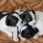 new born puppy , 7 Cute Do Puppies Have Umbilical Cords In Dog Category