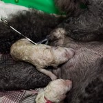 newborn puppies , 7 Cute Do Puppies Have Umbilical Cords In Dog Category