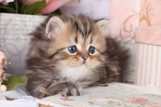 Norwegian Forest Cat For Sale , 8 Cool Teacup Persian Cats For Sale In Cat Category