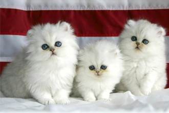 Norwegian Forest Cat For Sale , 9 Lovely Persian Cats For Sale In Indiana In Cat Category