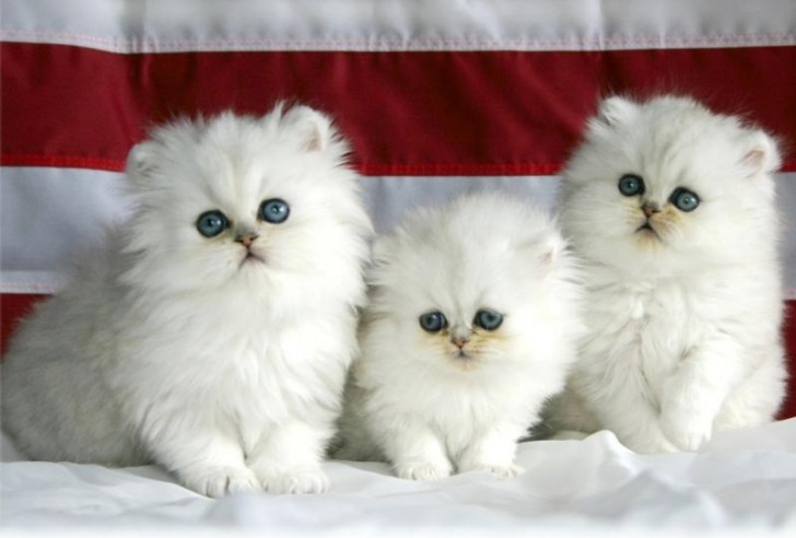 Cat , 9 Lovely Persian Cats For Sale In Indiana : Norwegian Forest Cat For Sale