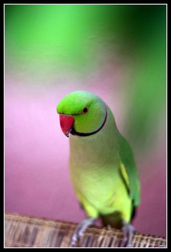 Birds , 7 Wonderful African Ringneck Parrot : Parakeet