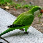 parrots for sale , 7 Beautiful Monk Parrots In Birds Category