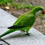 parrots for sale , 7 Beautiful Monk Parrots In Birds Category