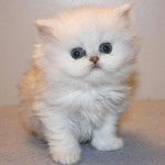 partner lovcat persians , 8 Lovely Persian Cat Breeders In Cat Category