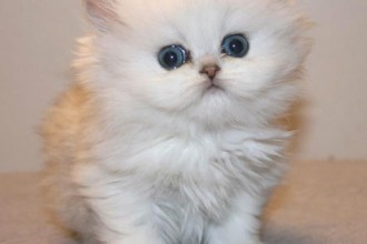 Partner Lovcat Persians , 9 Fabulous Persian Cats Breeders In Cat Category