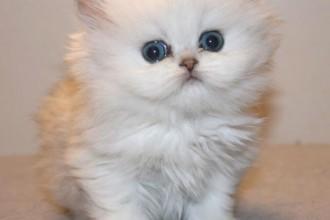 Partner Lovcat Persians , 9 Fabulous Persian Cats Breeders In Cat Category