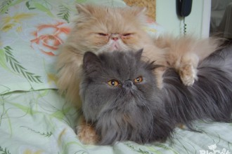 persian cat  in Laboratory