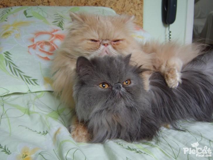 Cat , 5 Good Persian Cat Diet : Persian Cat