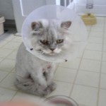 persian cat , 6 Persian Cat Allergies To Consider In Cat Category