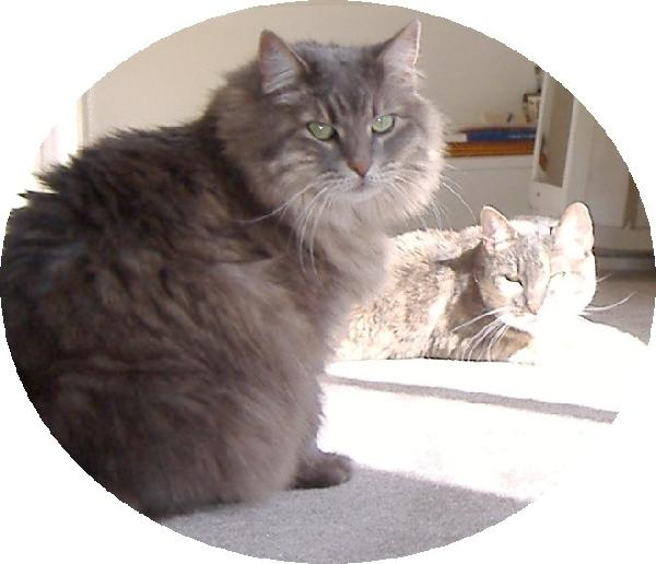 Cat , 6 Stunning Persian Cats Houston : Persian Cat Adoption