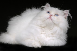 Persian Cat Adoption , 6 Stunning Persian Cats Houston In Cat Category