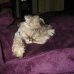 persian cat allergies , 6 Persian Cat Allergies To Consider In Cat Category