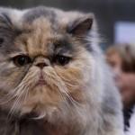 persian cat breeders , 10 Fabulous Persian Cat Rescue California In Cat Category