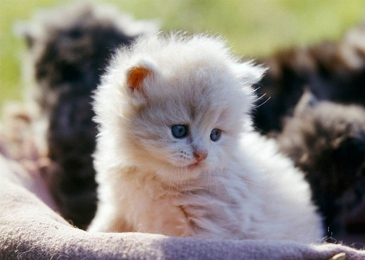 Cat , 8 Charming Different Types Of Persian Cats : Persian Cat Breeders
