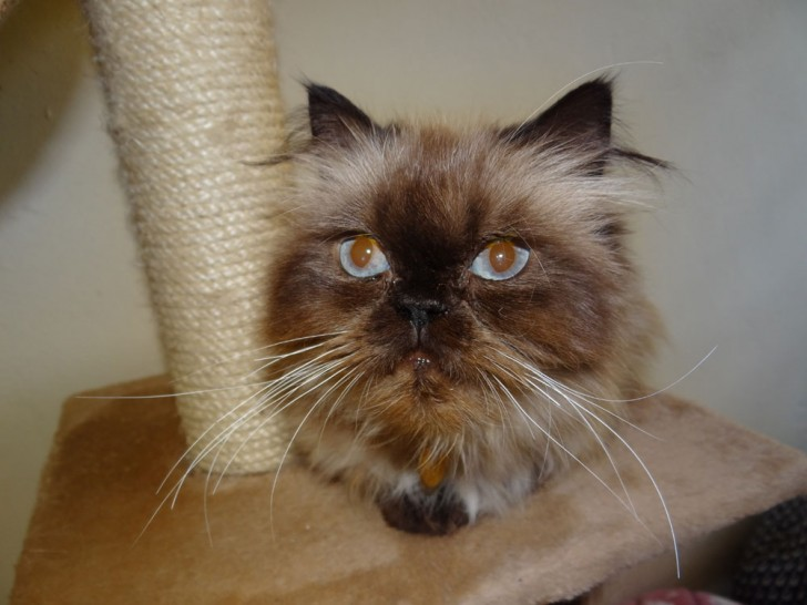 Cat , 9 Lovely Persian Cat Eye Problems : Persian Cat Breeders