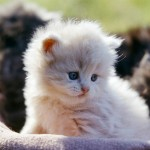 persian cat breeds , 9 Awesome Types Of Persian Cats In Cat Category