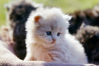 persian cat breeds in Plants