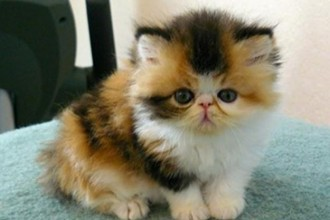 persian cat for sale in Muscles