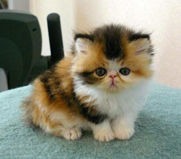 Cat , 9 Good Do Persian Cats Shed : Persian Cat For Sale