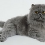 persian cat grooming , 8 Nice Persian Cat Shedding In Cat Category