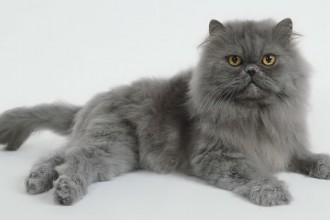 Persian Cat Grooming , 7 Cute Persian Cat Lifespan In Cat Category