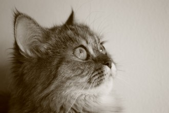 persian cat hereditary health in Brain