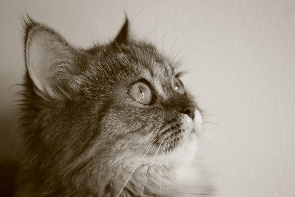 persian cat hereditary health