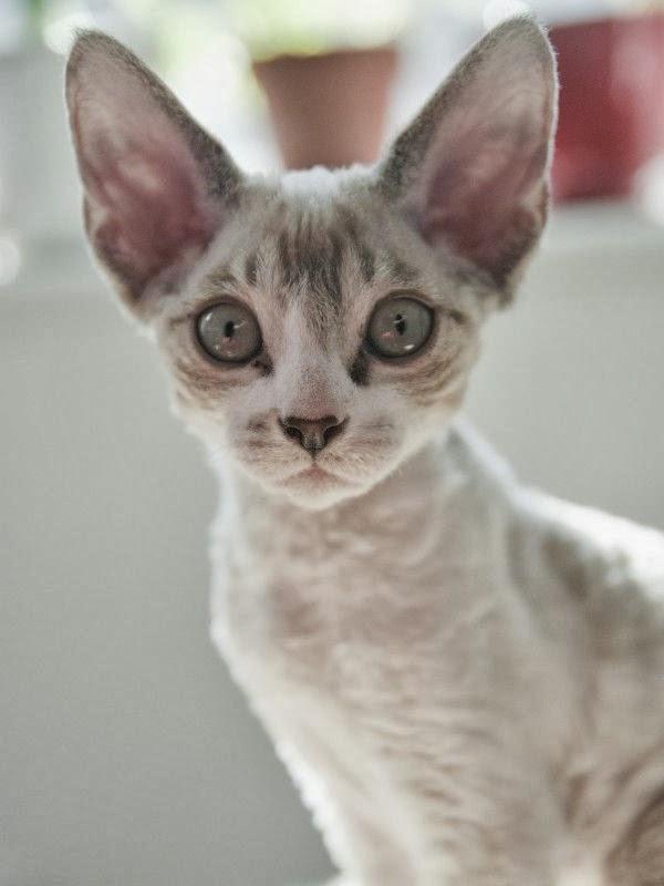 persian cat hypoallergenic