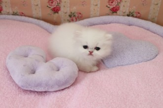 Persian Cat Kitten , 7 Good Teacup Persian Cats In Cat Category