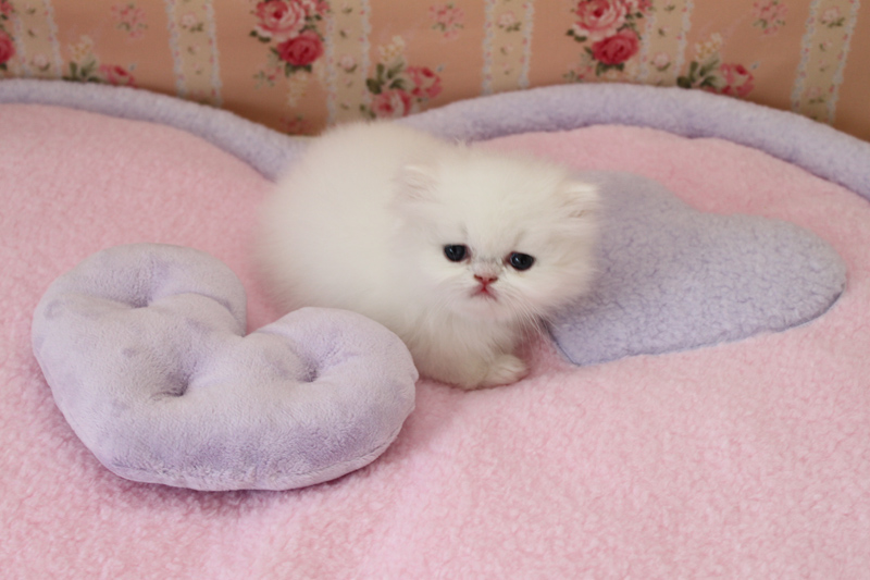 Persian Cat Kitten Biological Science Picture Directory Pulpbits Net