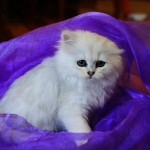 persian cat life expectancy , 7 Nice Persian Cat Life Expectancy In Cat Category