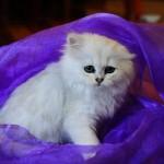 persian cat life expectancy , 7 Nice Persian Cat Life Expectancy In Cat Category
