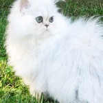persian cat personality , 7 Cool Persian Cat Characteristics In Cat Category